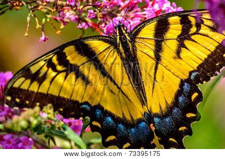 Butterfly with wings open