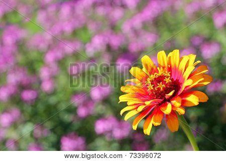 Zowie Yellow Flame Zinnia Flower