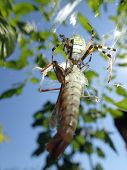 foto of locusts  - A wasp spider killing a big brown locust