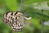 picture of laying eggs  - Large Tree Nymphs butterfly and eggs - JPG