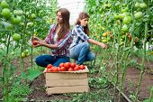 picture of picking tray  - Young smiling agriculture woman worker in front and colleague in back and a crate of tomatoes in the front, working,harvesting tomatoes in greenhouse.