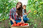 image of picking tray  - Young smiling agriculture woman worker in front and colleague in back and a crate of tomatoes in the front, working,harvesting tomatoes in greenhouse.