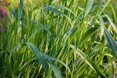 stock photo of tall grass  - Long blades of grass - JPG