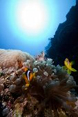 picture of clown fish  - anemone fish aka clown fish in red sea - JPG