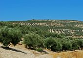 pic of baeza  - View of olive groves and countryside Baeza Jaen Province Andalusia Spain Western Europe - JPG