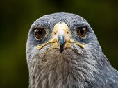 stock photo of buzzard  - portrait of a black chested eagle buzzard