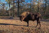 picture of aurochs  - european bison in the forest - JPG