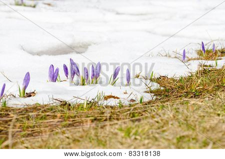 First spring flower on melting snow