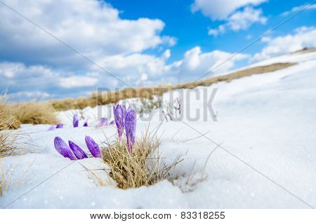 First spring flower in the snow