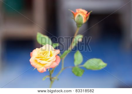 Orange Rose Growing In The Garden