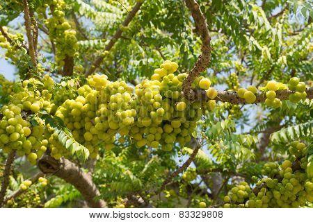 Star Gooseberry On Tree