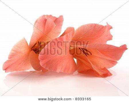 Coral Gladiole