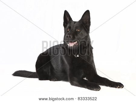 Isolated Black German Shepherd