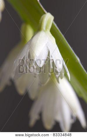 Flowering Cactus Pseudorhipsalis Ramulosa