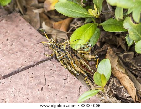 Two Cupulating Grasshoppers