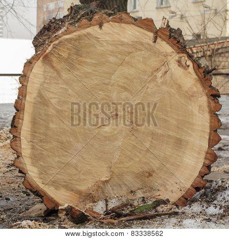 End Cut Of A Big Tree