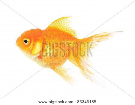 Golden Fish Isolate On White Background