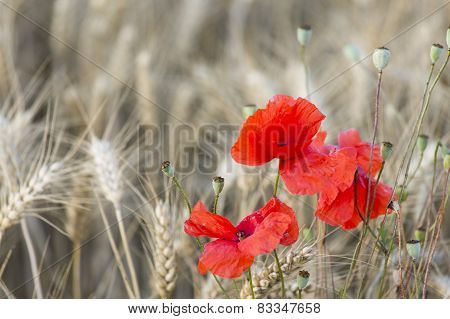 Poppies In Rye Field
