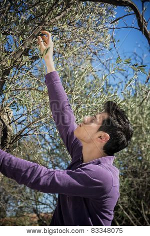 Handsome Young Italian Man Picking Olives