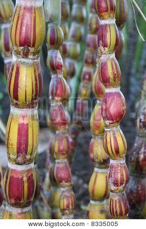 Crazy Colored Sugar Cane