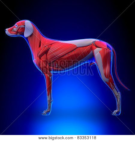Dog Muscles Anatomy - Muscular System Of The Dog