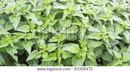Bush of green leaves of wild nettles. Color photo