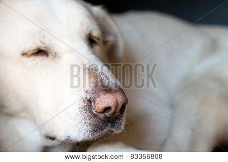 Spanish Mastiff closeup