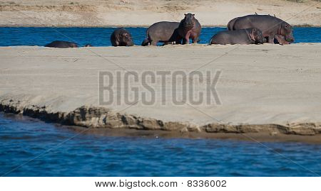 Hipopótamos em um banco de areia