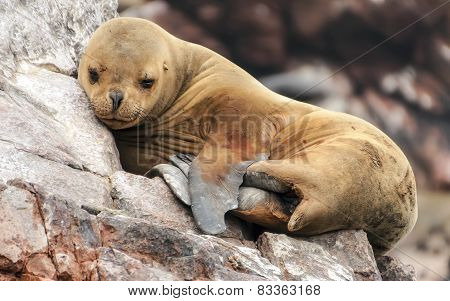 Sleeping sea lion cub on the rocks