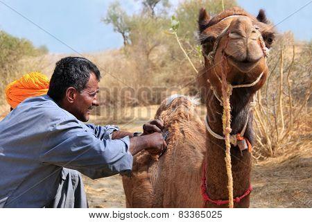 Jaisalmer, India-february 18: Unidentified Man Grooms Camel During Safari On February 18, 2011 In Ja