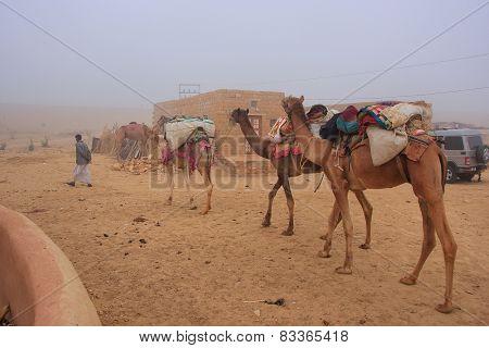 Jaisalmer, India-february 19: Unidentified Man Leads Camels Through Desert Village On February 19, 2