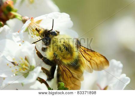 Bumble Bee Bumblebee drinking nectar