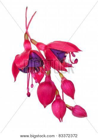 fuschia flower (fuschia hybrida)