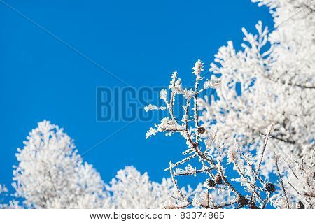 Hoarfrost On The Trees And Blue Sky