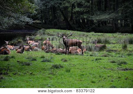 Roaring stag with herd near creek