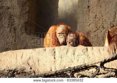 two little Orang Utans