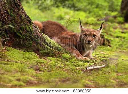 Male Eurasian Lynx Lurking In The Clearing