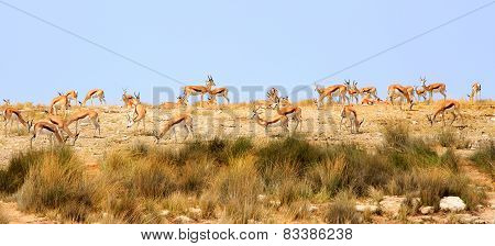 Herd of springbok on top of a hill