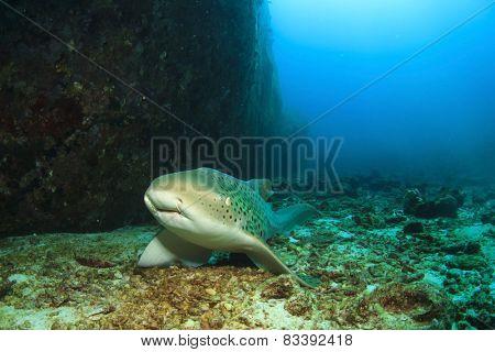 Leopard Shark (also known as Zebra Shark)