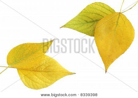Foliage Aspen