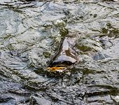 image of catfish  - Sutchi catfish  - JPG