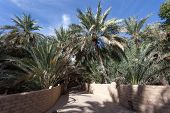 picture of oasis  - Palm Trees in the Al Ain Oasis Emirate of Abu Dhabi UAE - JPG