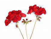 picture of geranium  - Geranium Pelargonium Red Flowers Isolated on White Background - JPG