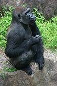 Gorilla in pensive mood poster