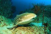 picture of leopard  - Leopard Shark  - JPG