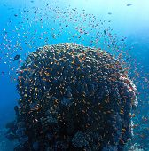 picture of shoal fish  - Shoal of anthias fish on the coral reef - JPG