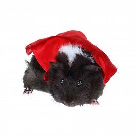 foto of pig  - Super Hero Guinea Pig  - JPG