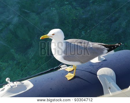 A herring sea gull (Larus argentatus)