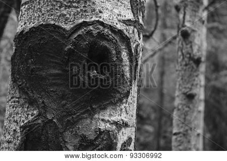 Aspen Tree with Heart Carving in Black and White