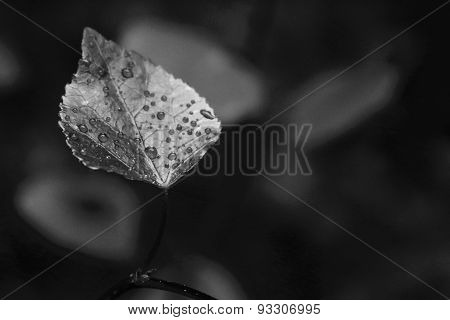 Close-up black and white leaf with dew drops